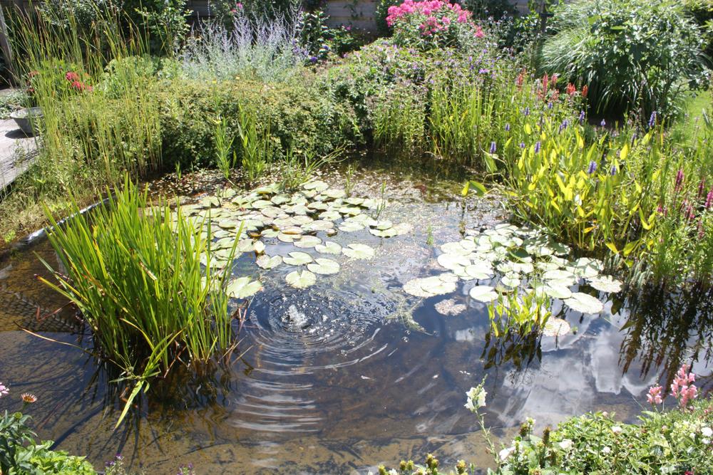 plante étang